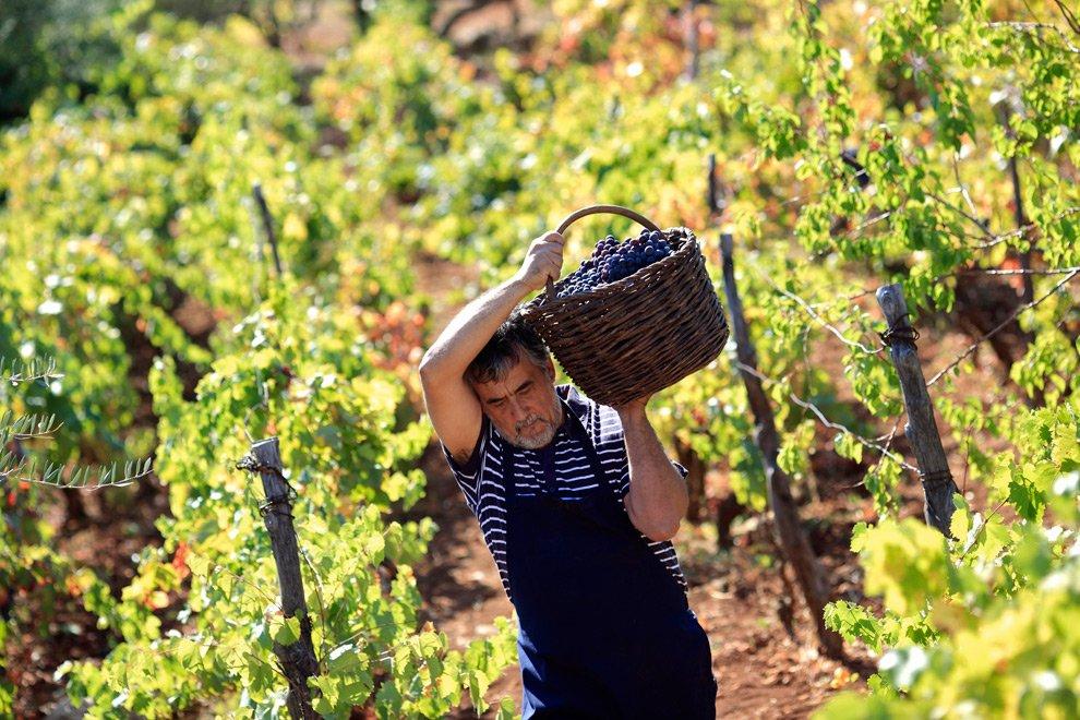 Фото: сбор урожая винограда