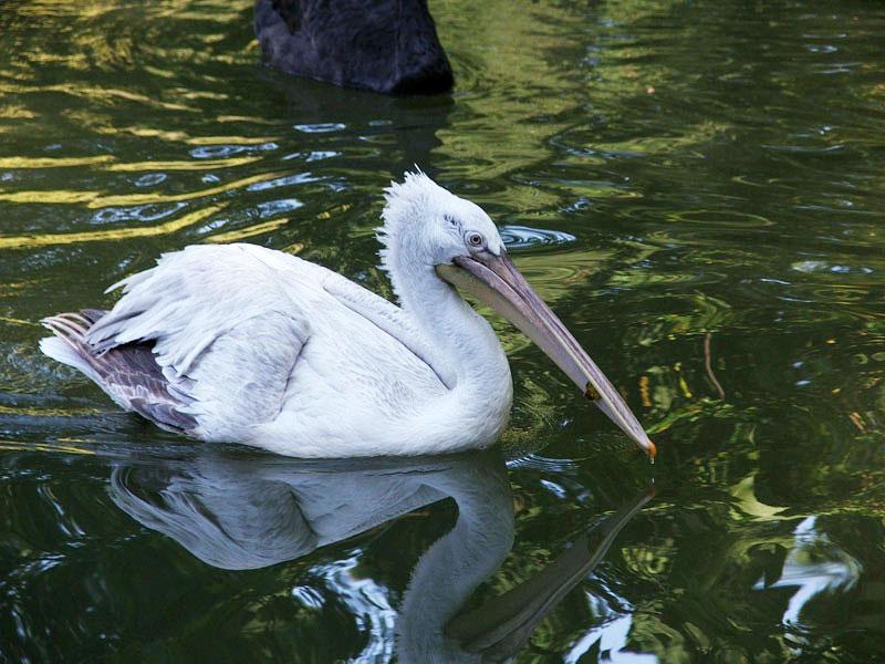 Фото: птица кудрявый пеликан