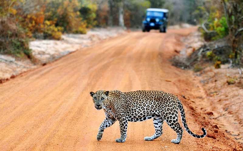 Леопард в парке Яла
