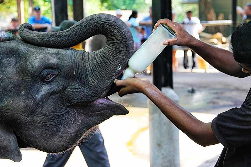 Кормление слоненков молоком
