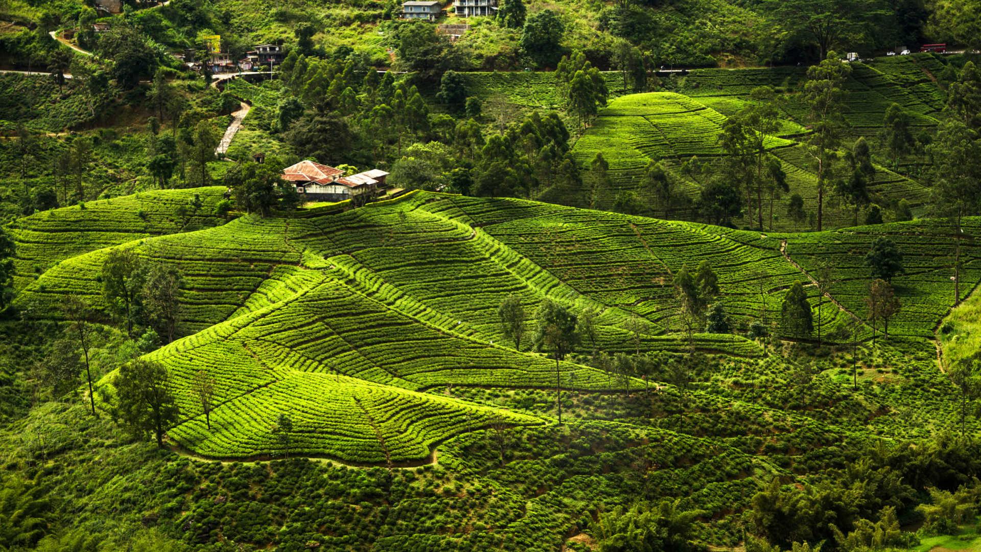 Фото: чайные плантации на Шри-Ланке