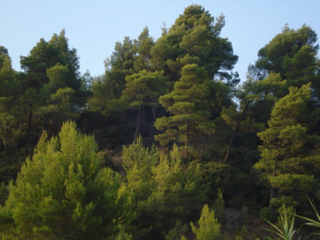 Сосновый лес в Криопиги