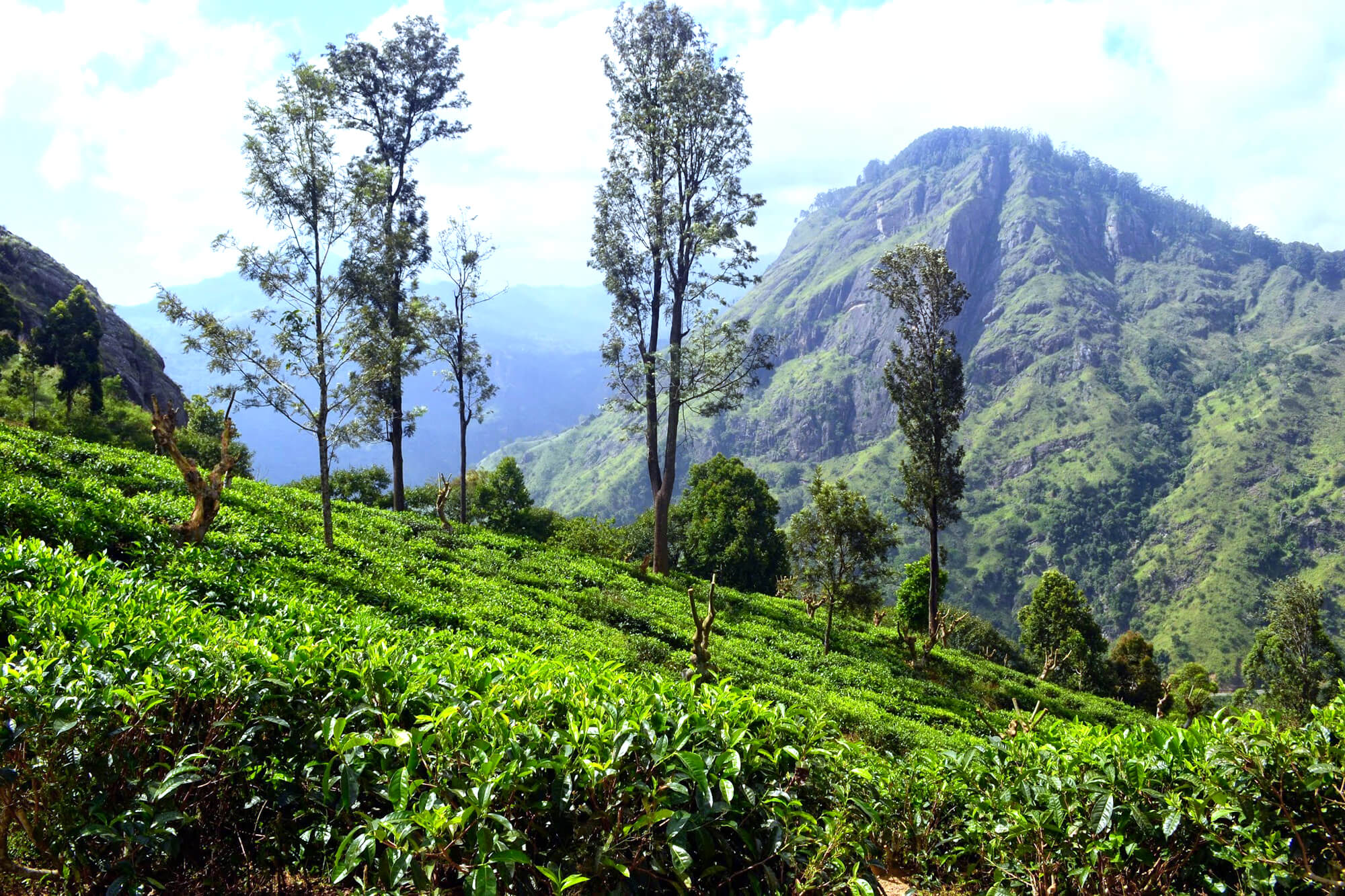 Вид на чайные плантации и горы