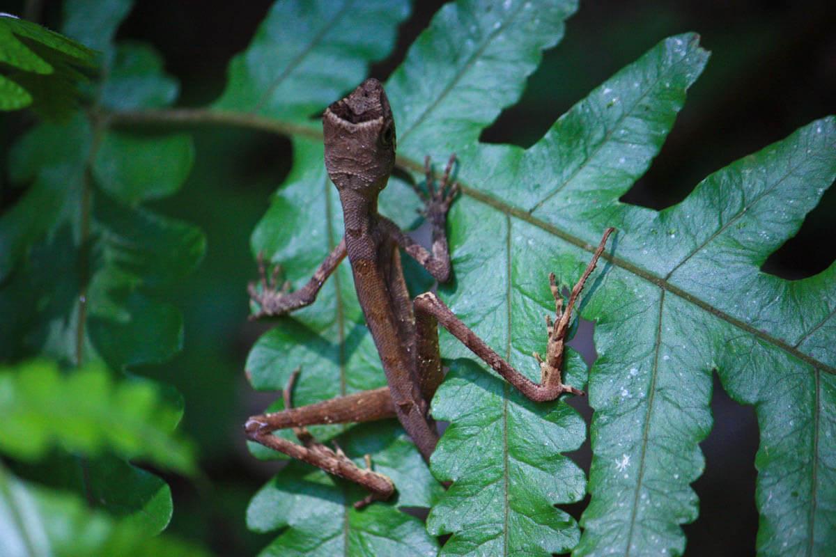 Ящерица в лесу Синхараджа