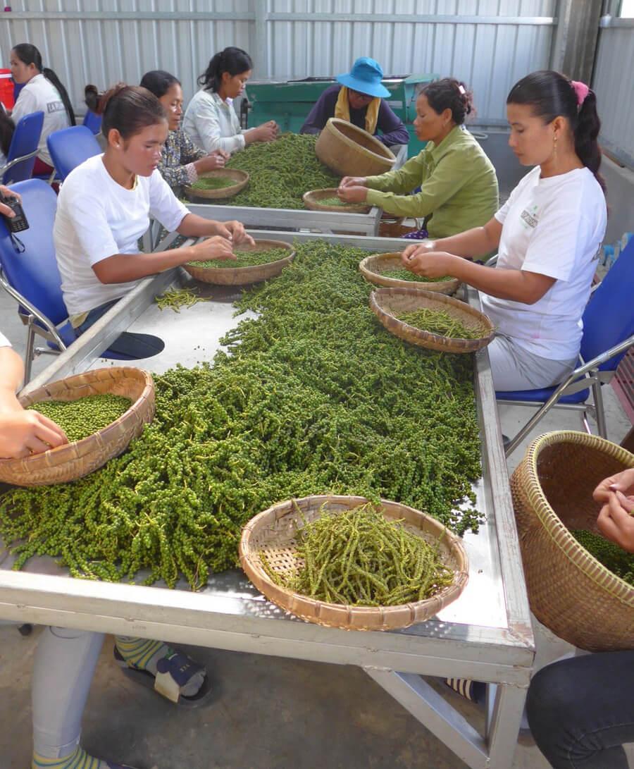 Ягоды зеленого перца снимают с веточек