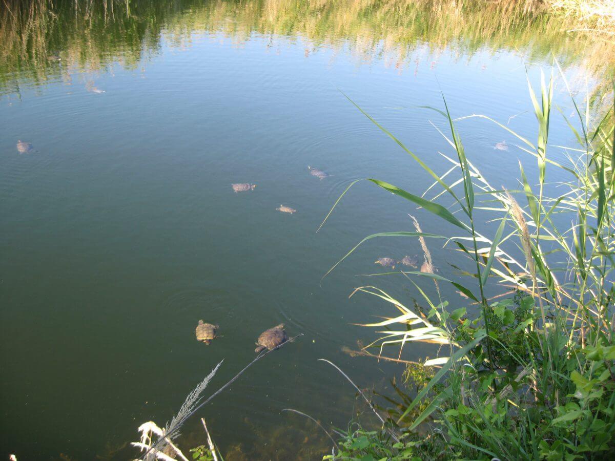 Черепашья река в Торони
