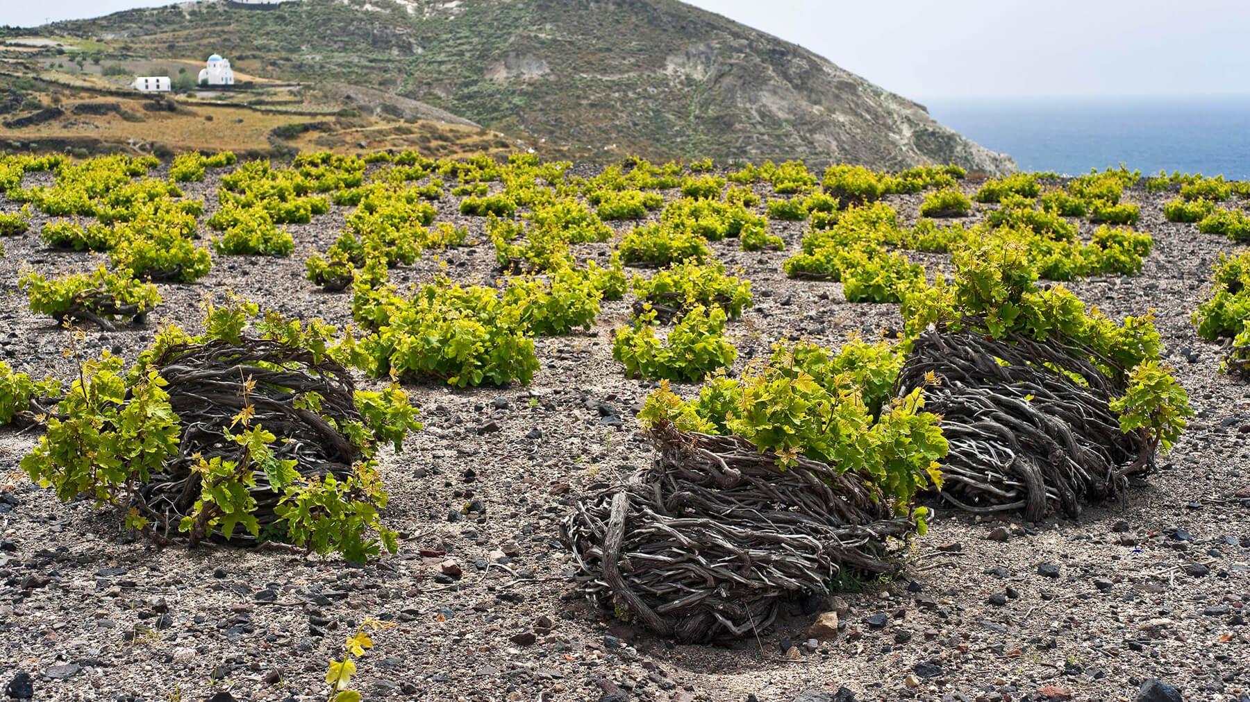 Виноградные кусты на острове Санторини в Греции