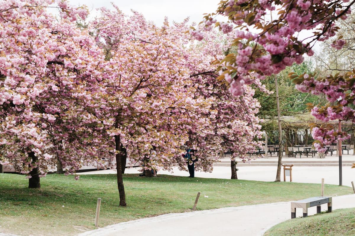 Цветение вишневых деревьев