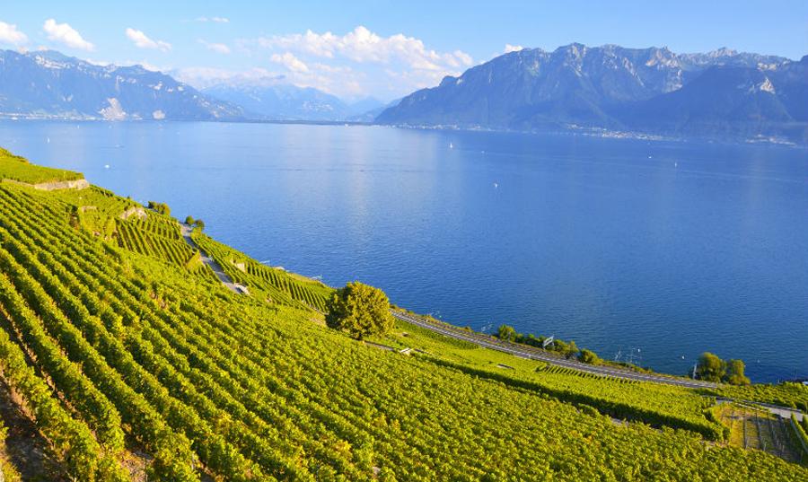 Виноградники возле Женевского озера Леман
