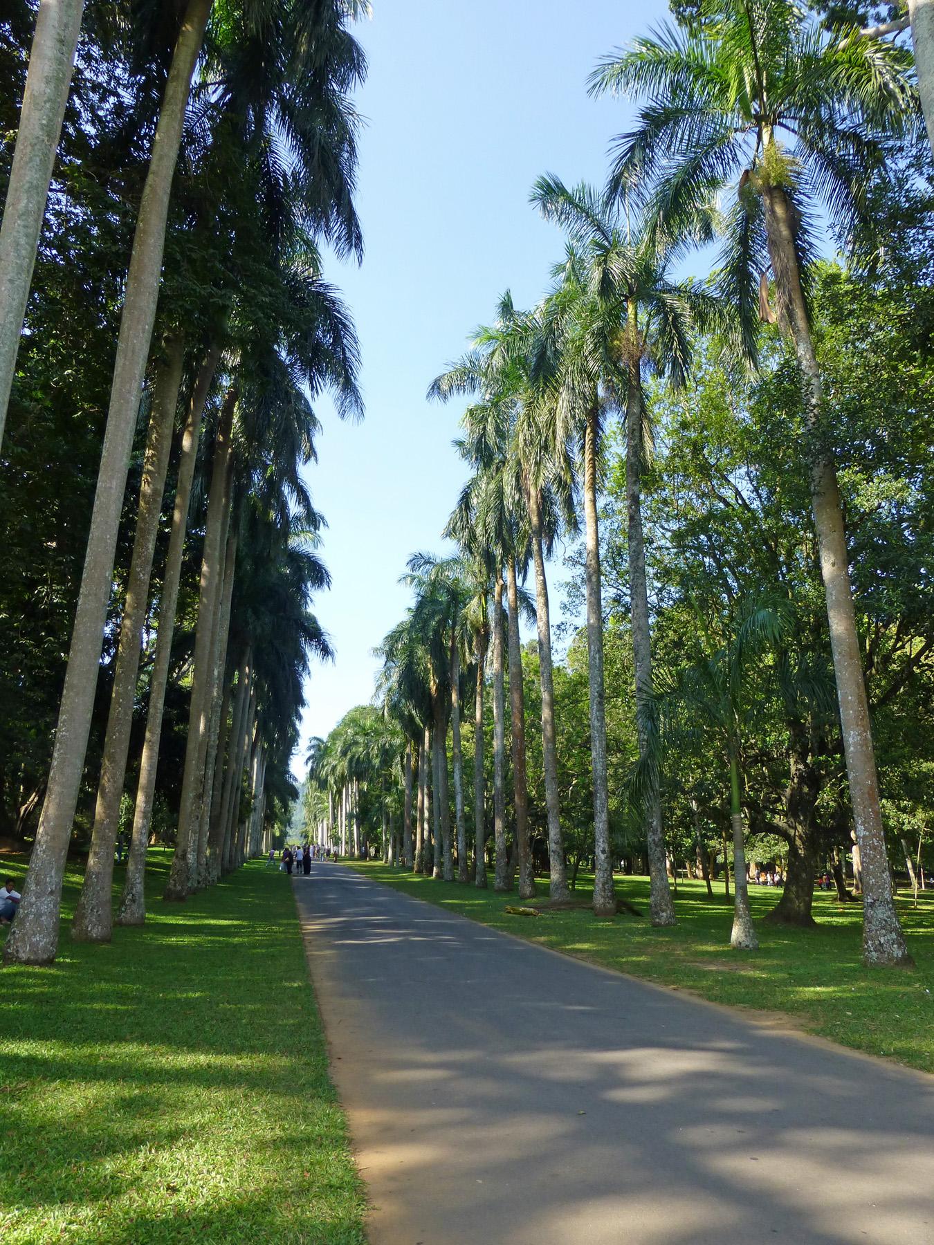 Пальмовая аллея в ботаническом саду Перадения