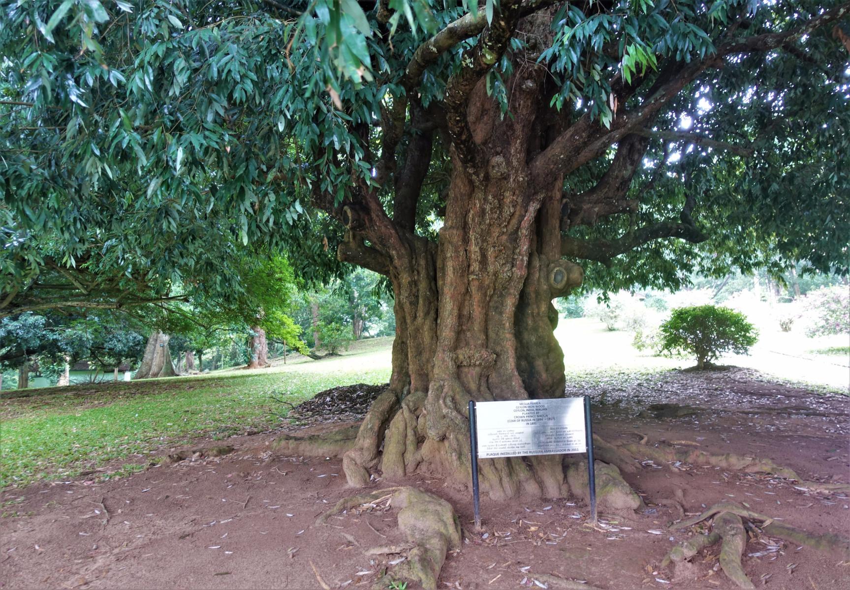 Цейлонское железное дерево - Дерево Николая II