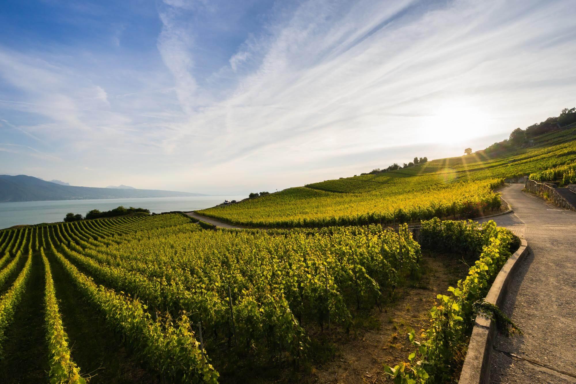 Террасные виноградники Лаво