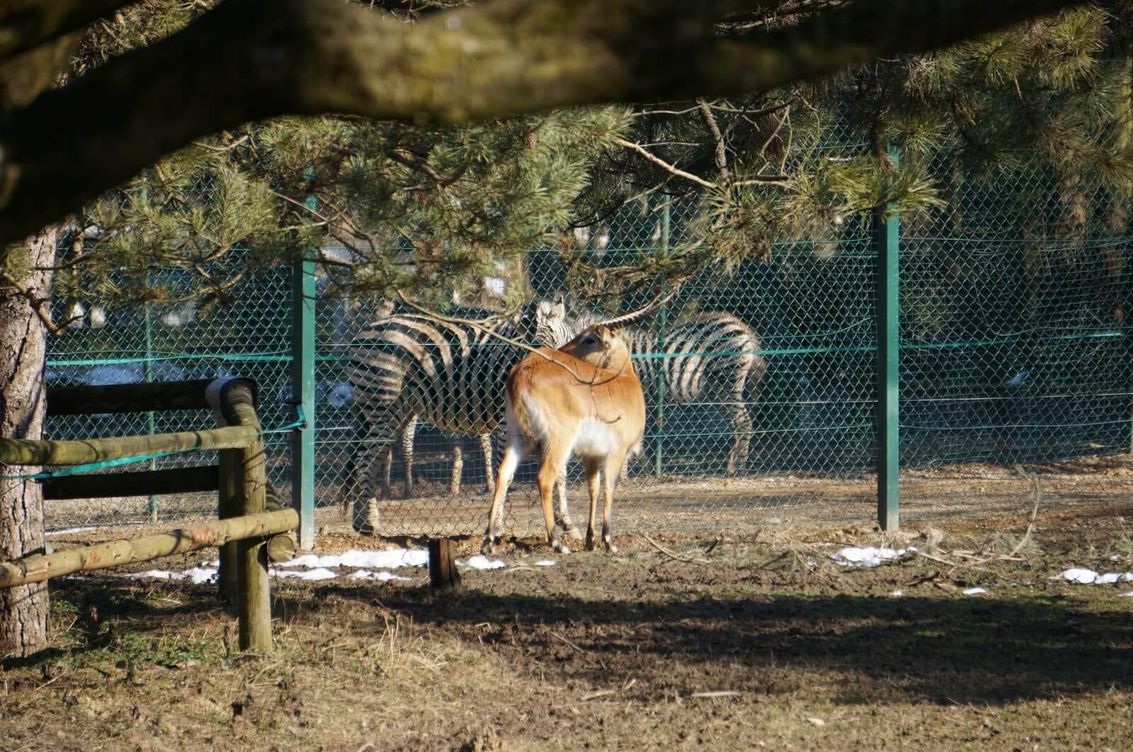 Антилопа и зебры
