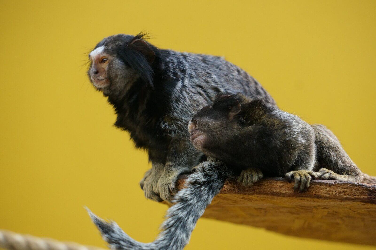 Черно-хохолковые мартышки