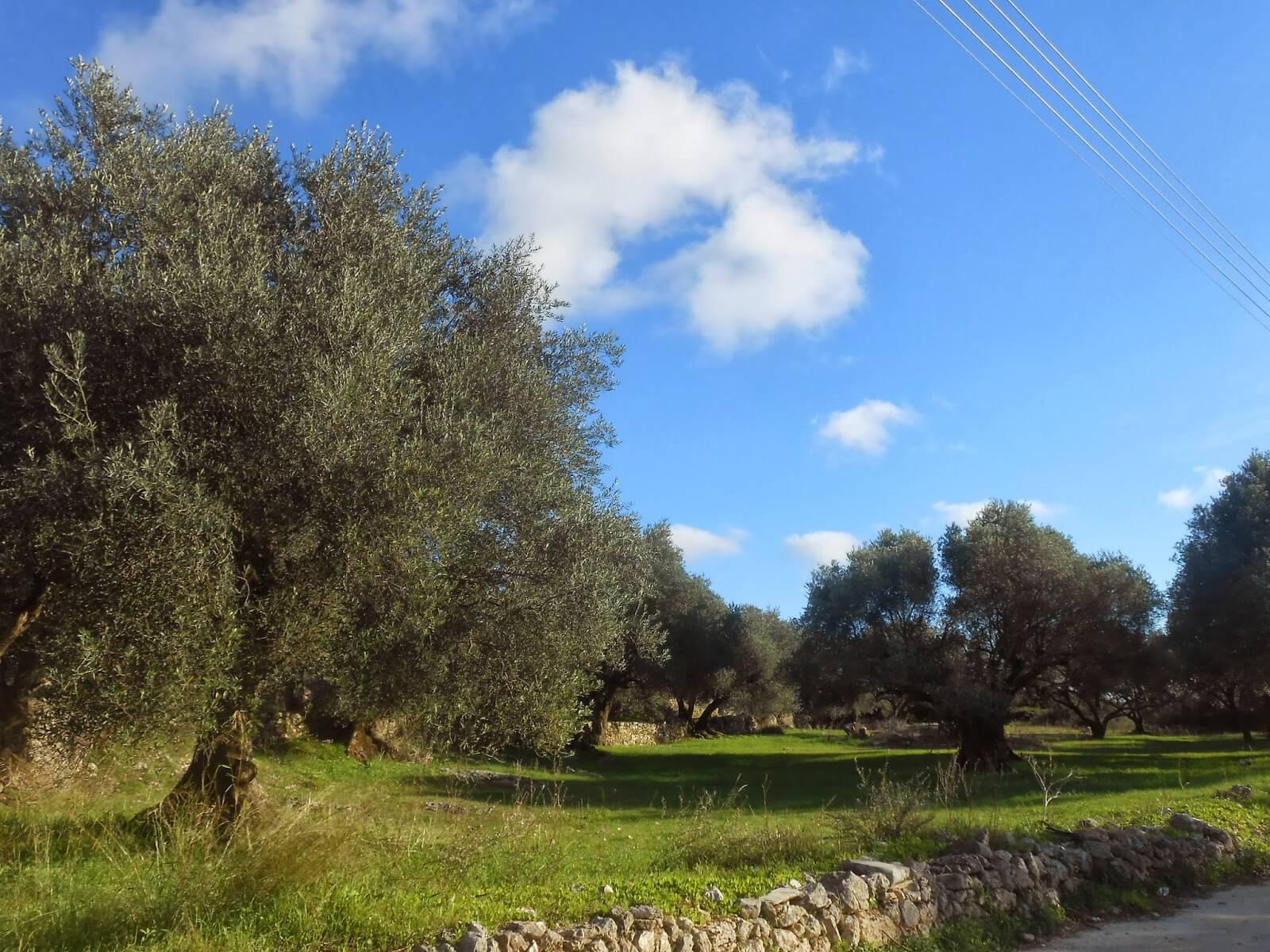 Рощи оливковых деревьев