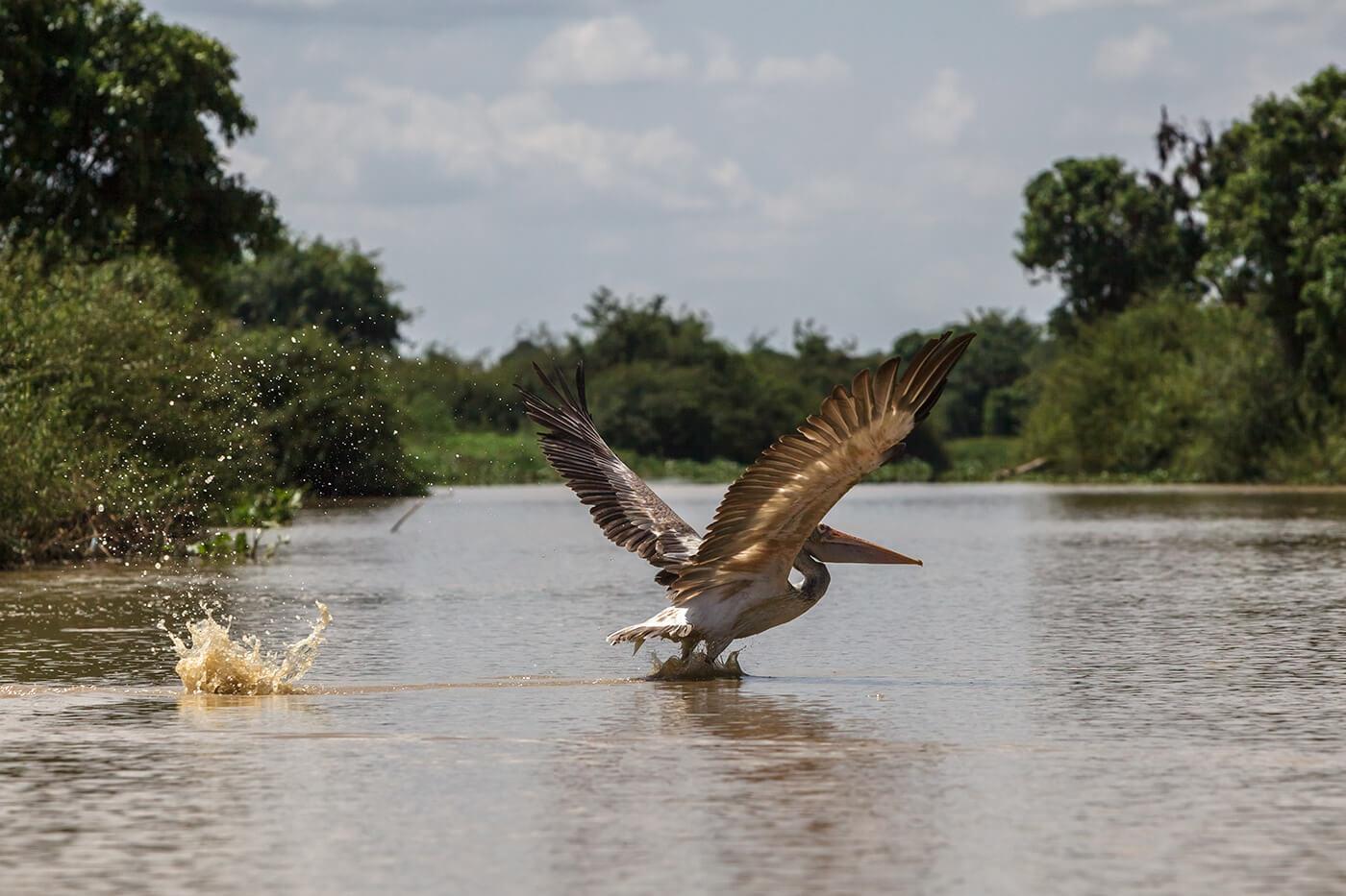 Пеликан на озере Тонлесап