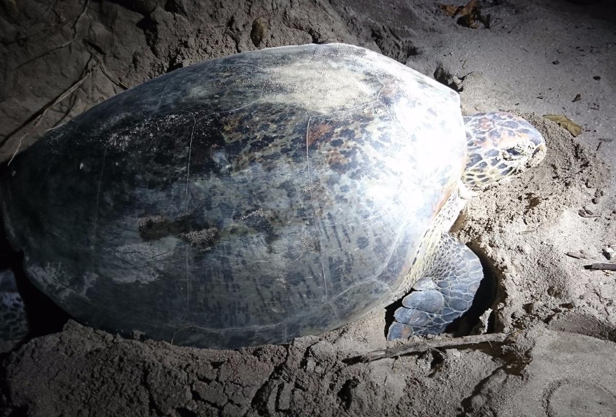 Зеленая морская черепаха откладывает яйца