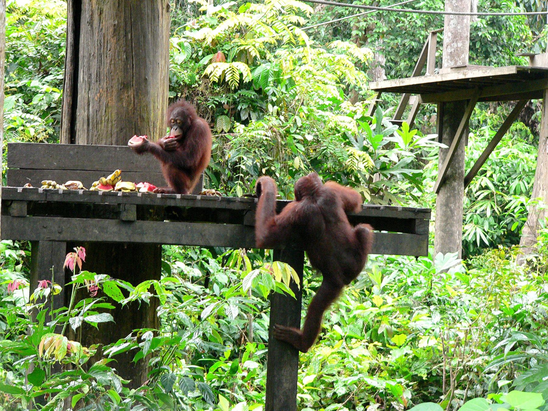 Орангутанги в Sepilok Orangutan Rehabilitation Centre
