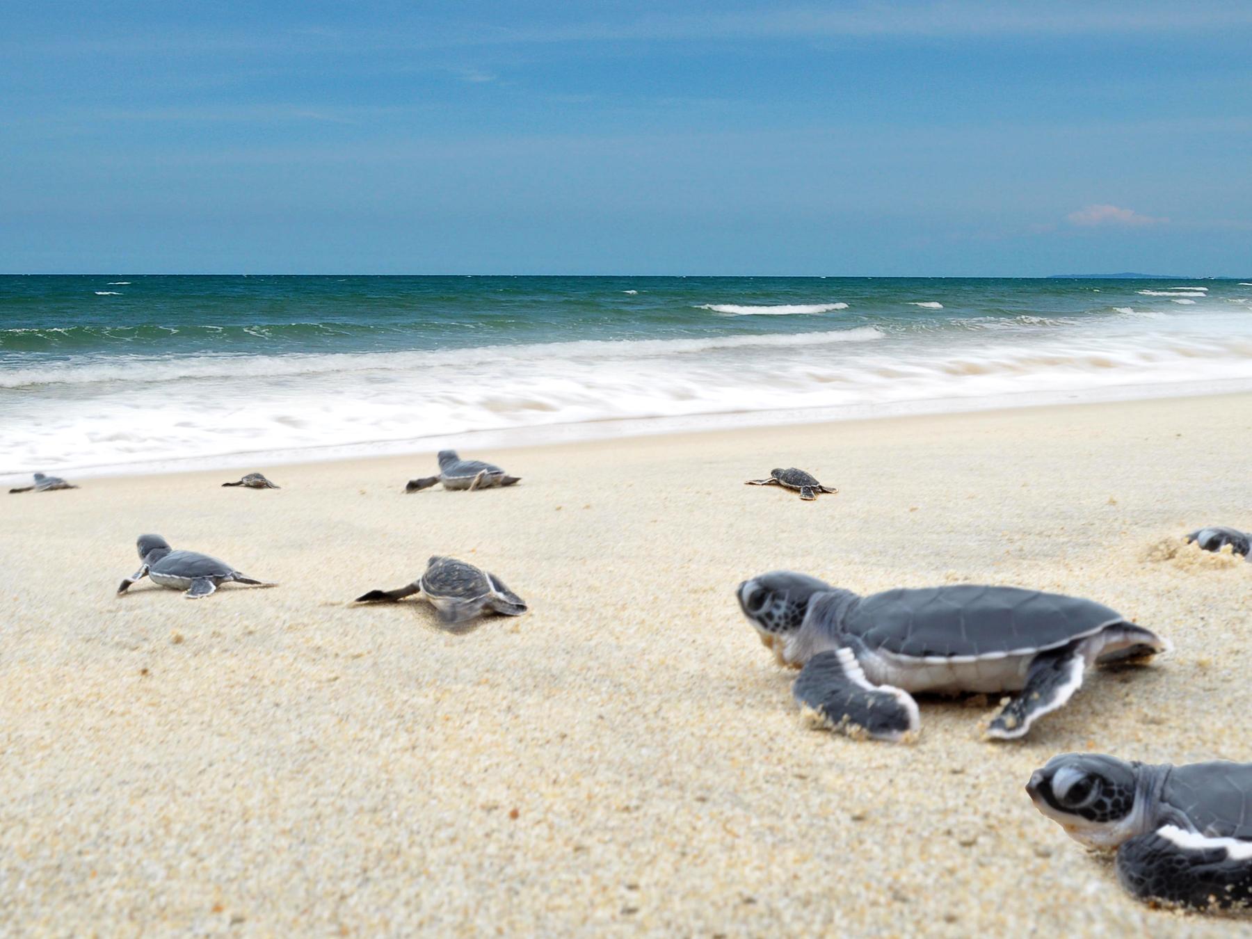 Маленькие черепашки на Черепашьем пляжн, Перхентианы
