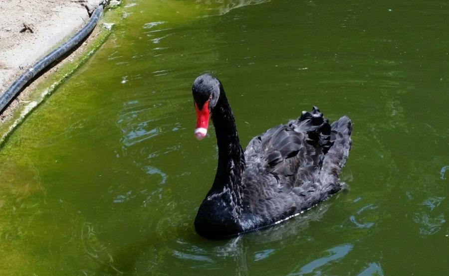 Черный лебедь в Villa le Chene