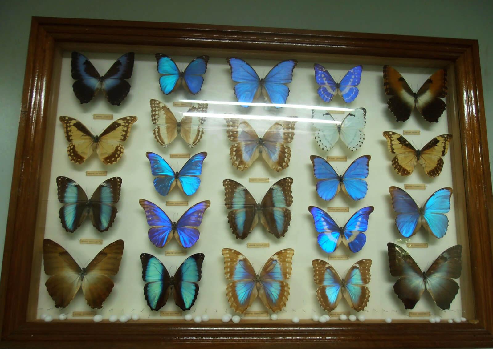 Бабочки в энтомологическом музее