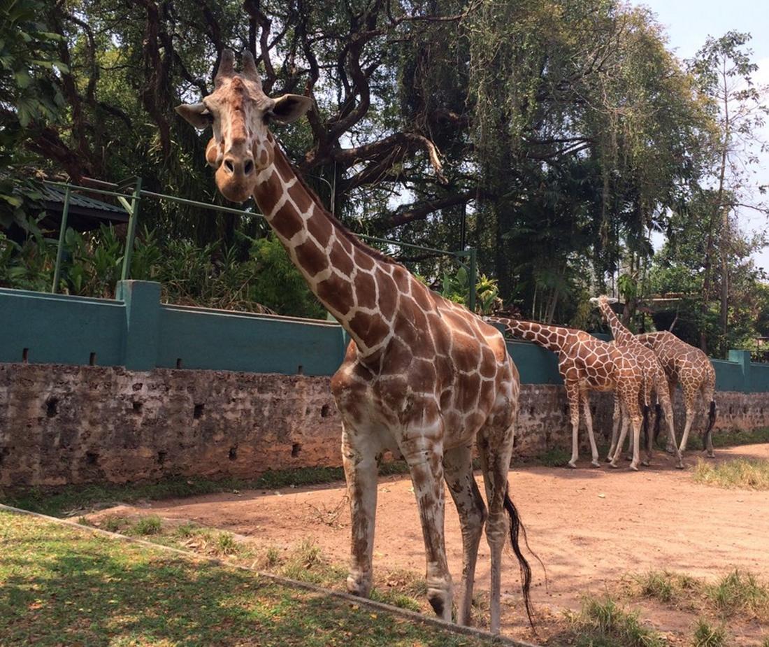 Жирафы в оопарке Дехивала