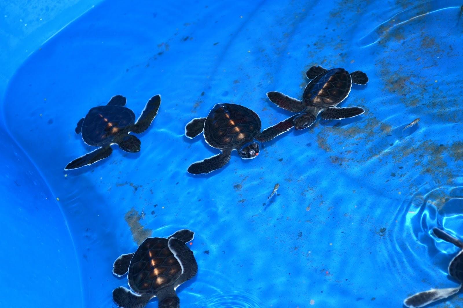 Маленькие черепашки в Taman Negara Pulau Pinang