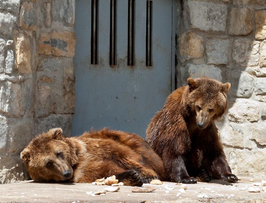 Медведи в зоопарке Лиссабона