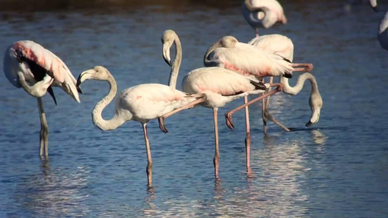 Фламинго в пприродном парке Алгарве