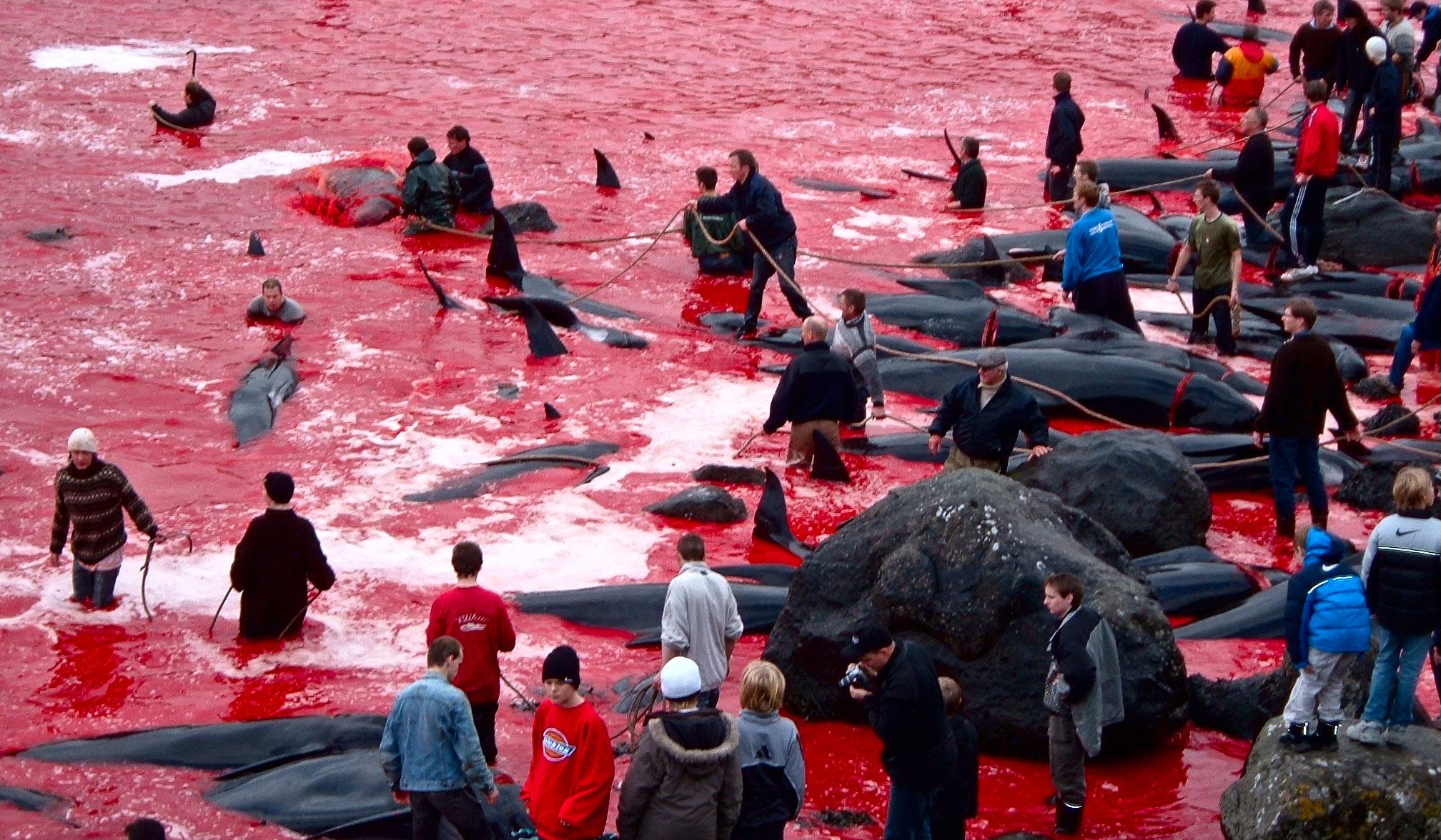 Ежегодное массовое убийство дельфинов