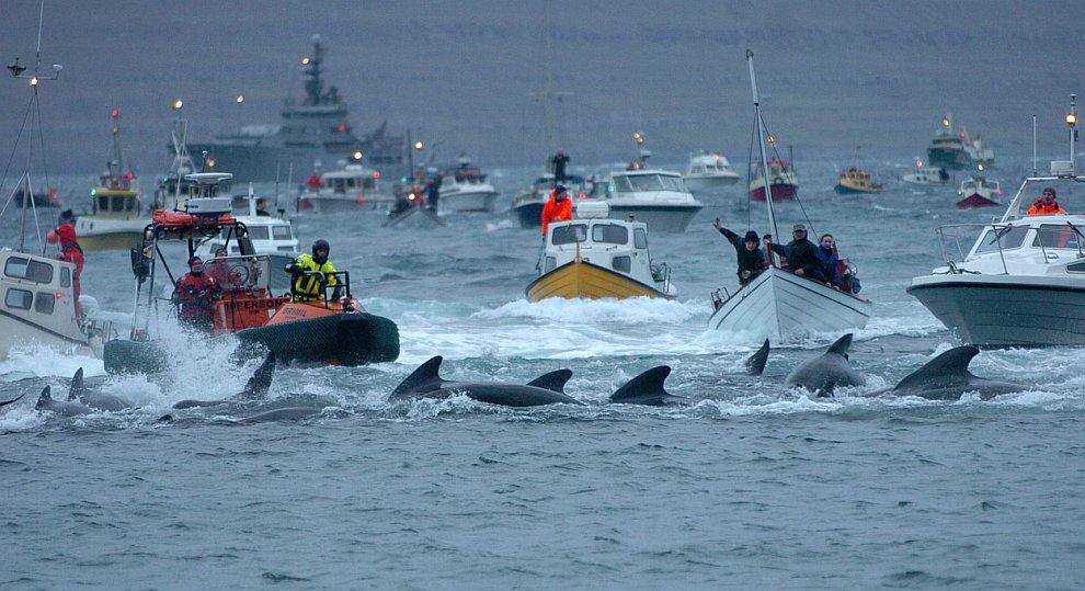Загон дельфинов на лодках