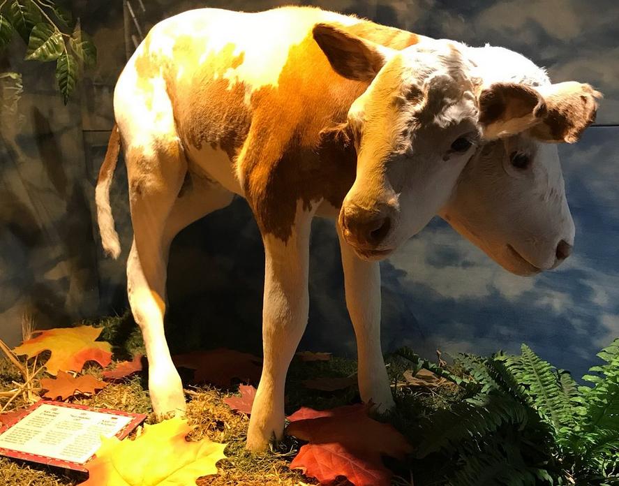 Двухголовая корова