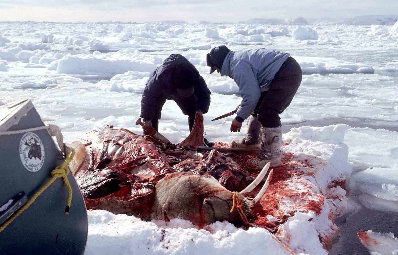 Инуиты имеют право охотиться в личных целях