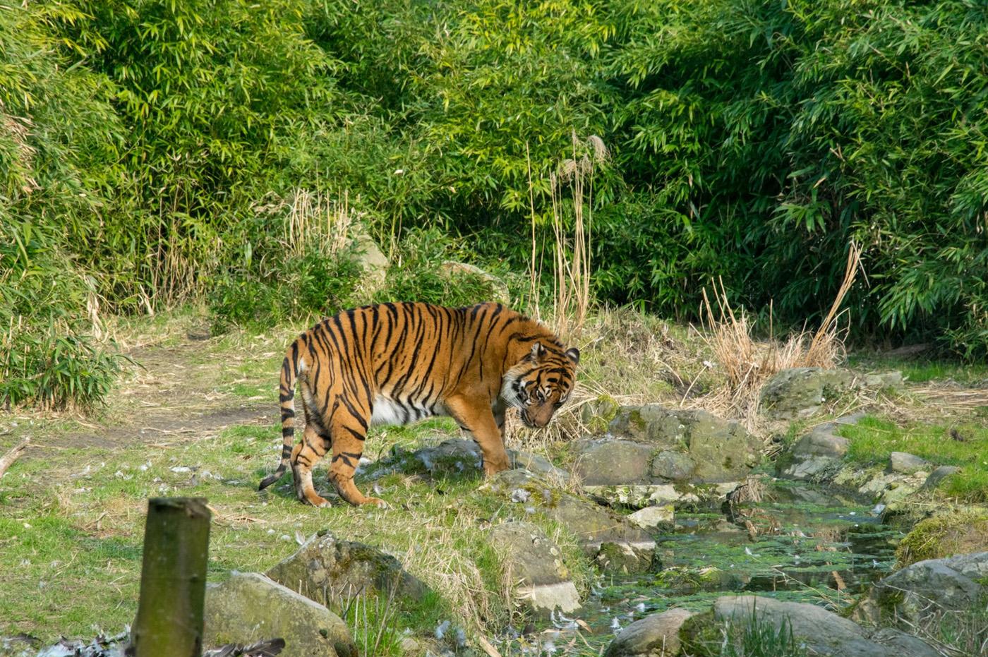 Тигр в зоопараке Роттердама