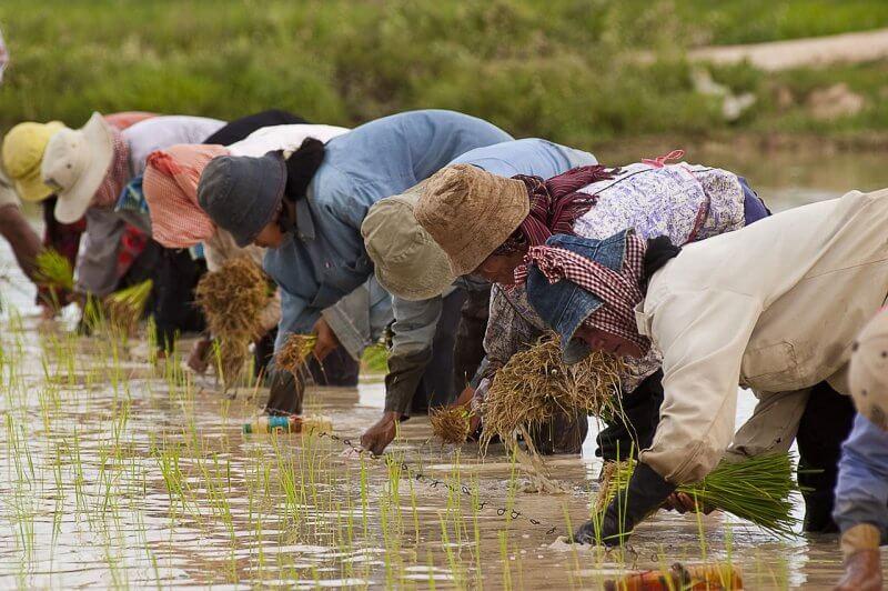 Сборщики риса на поле