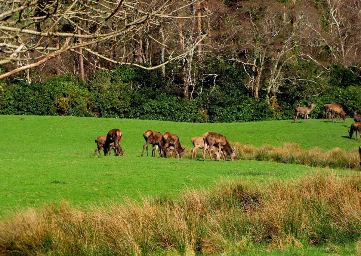 Олени в Национальном парке Килларни