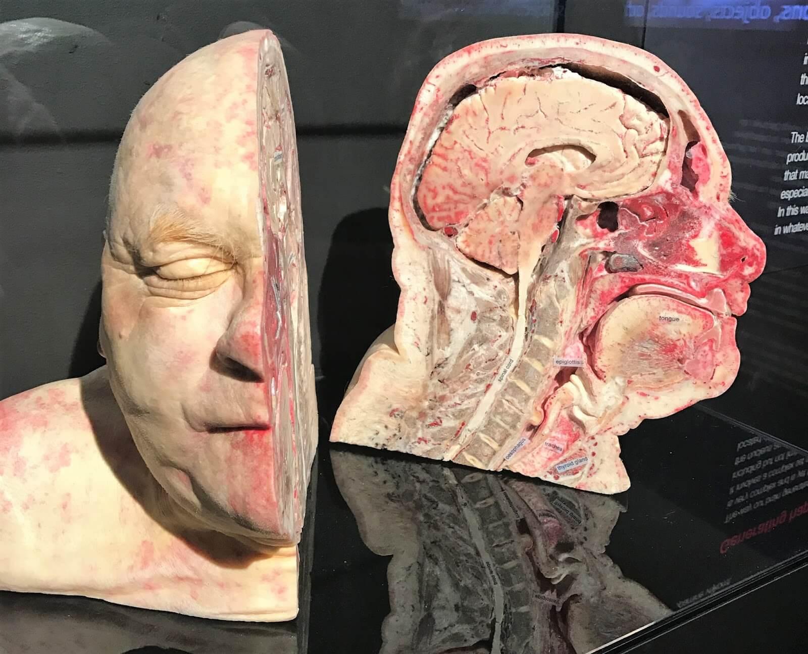Человеческая голова в разрезе