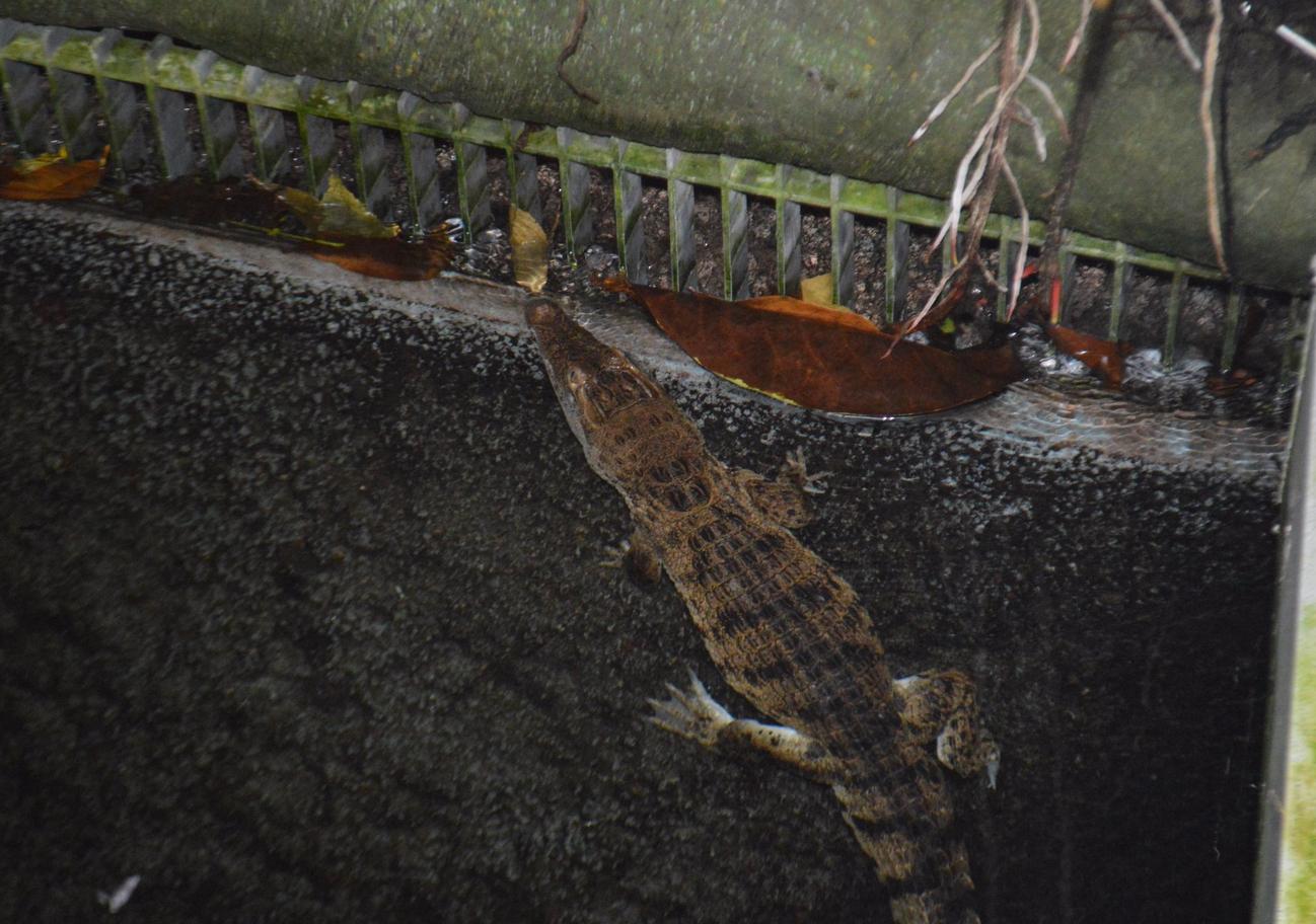Крокодилчик в океанариуме