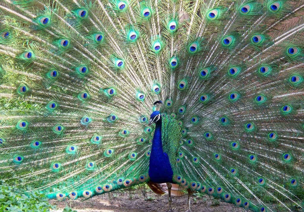 Павлин в Дубенском зоопарке