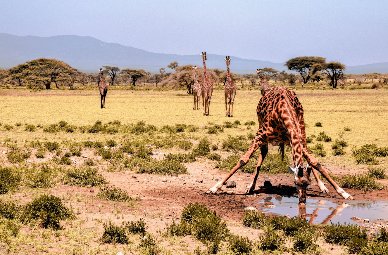 Жирафы в Национальном парке Серенгети