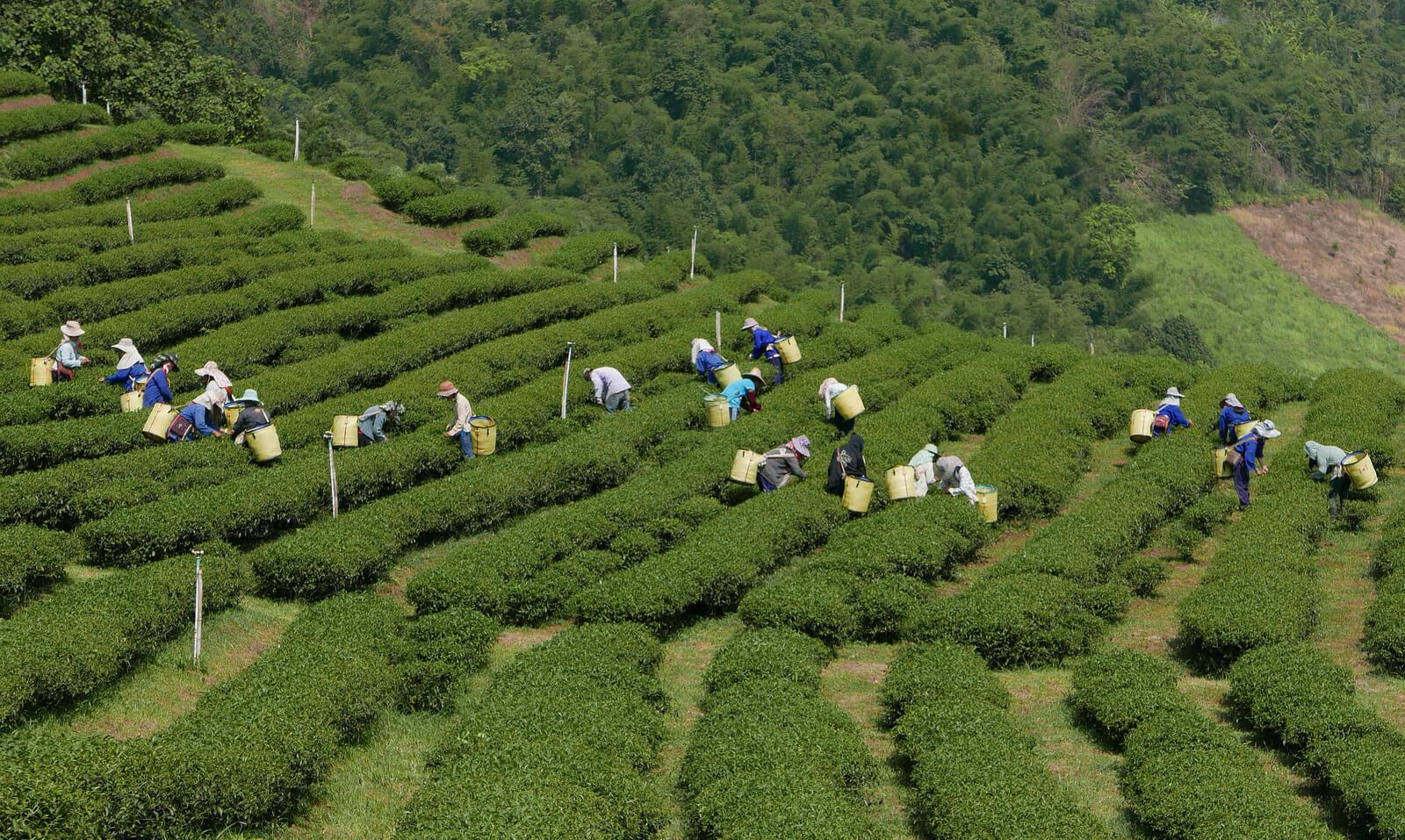 Население деревни Doi Mae Salong занимаются выращиванием чая