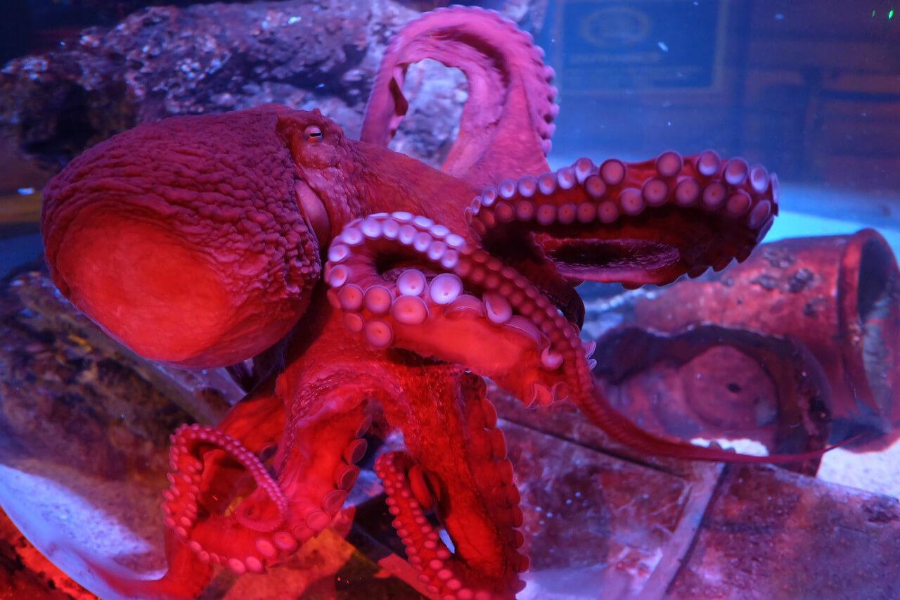 Гигантский тихоокеанский осьминог