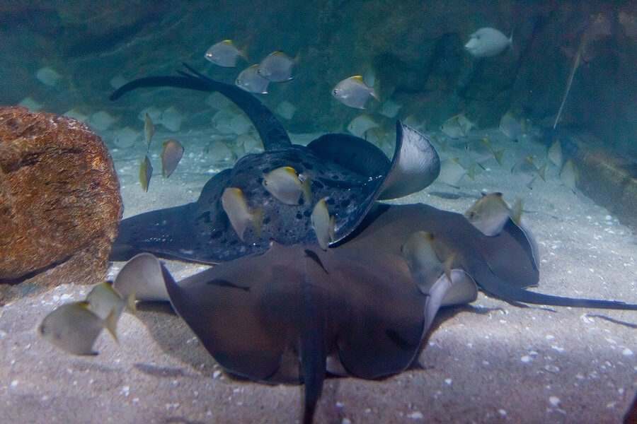 Здесь вы увидите орляковидных рыб или скатов