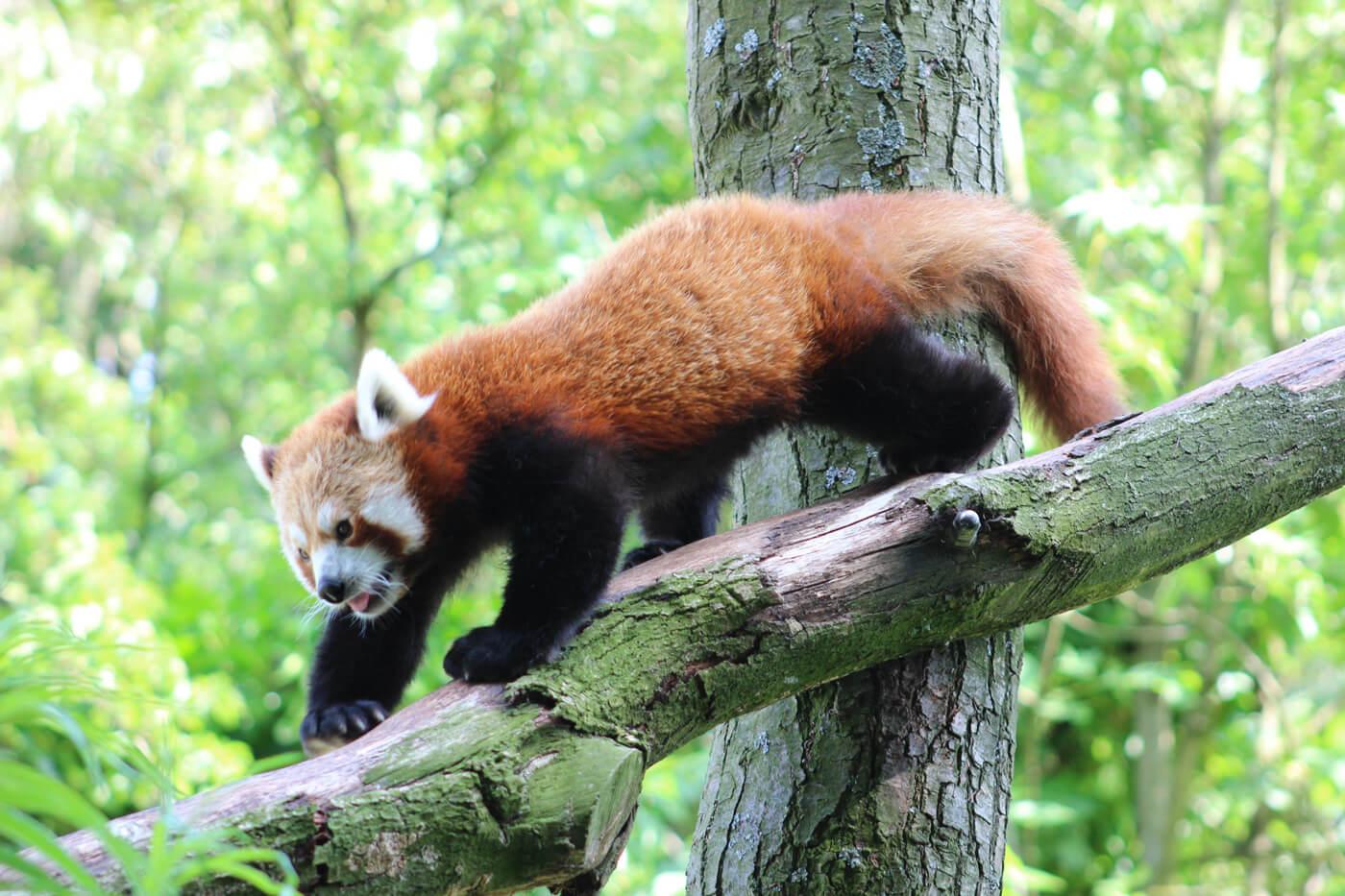 Красная панда в зоопарке «Артис»