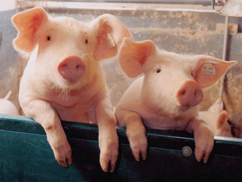 Недопустимо мясо свиньи