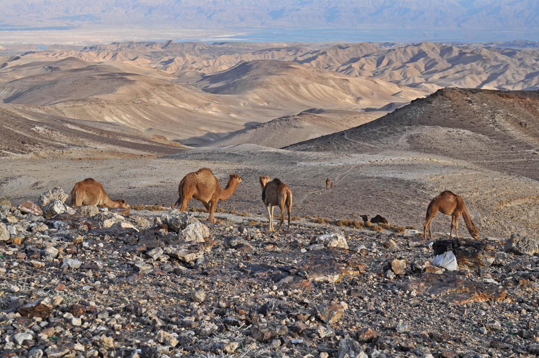 Можно встретить верблюдов