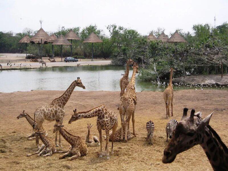 Жирафы в парке