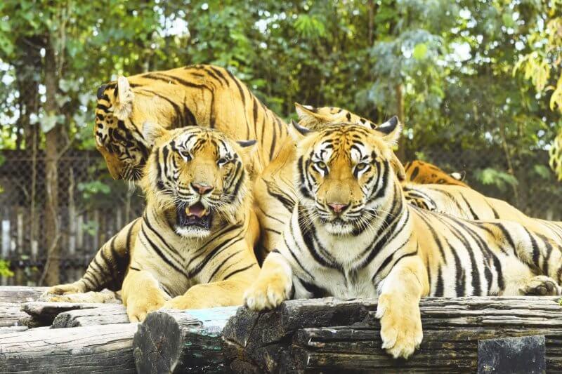 Тигры в сафари парке