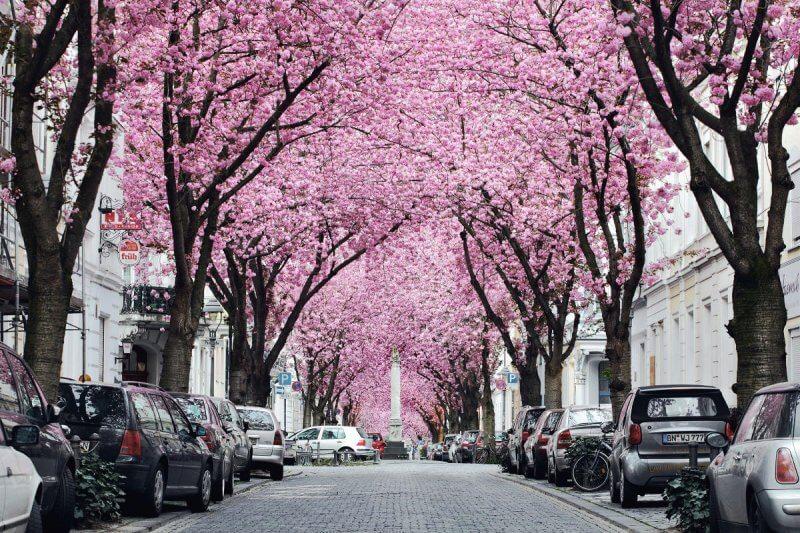 Вишни в Бонне