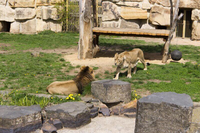 Лев и львица в зоопарке